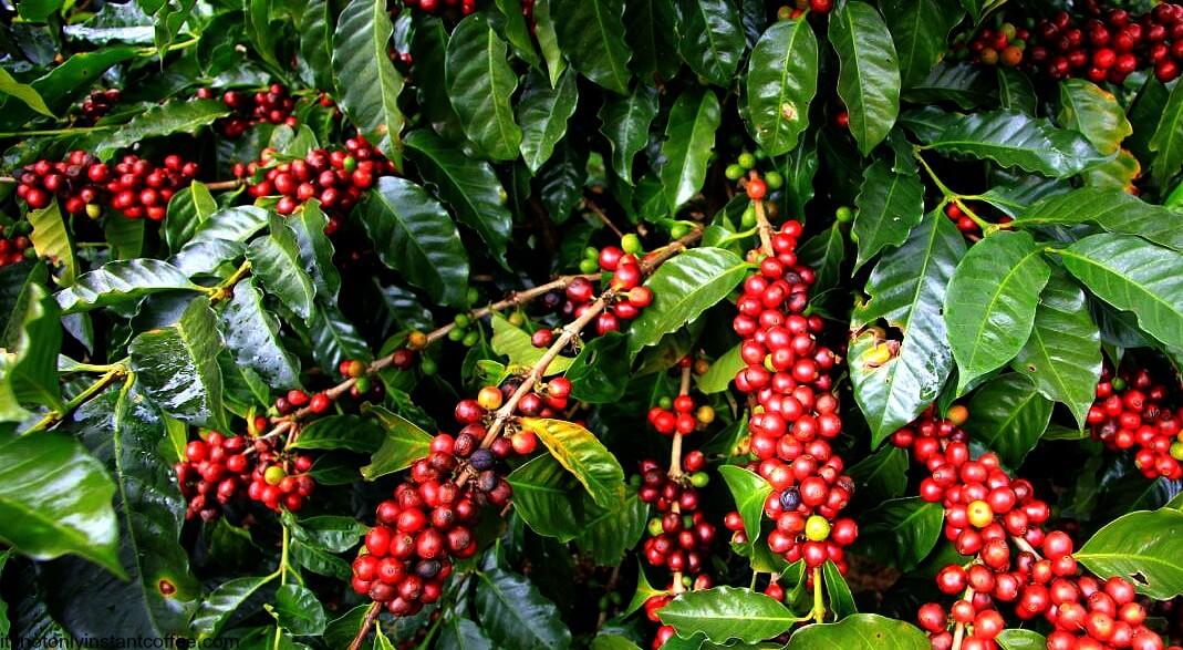 گیاه قهوه پیش از برداشت