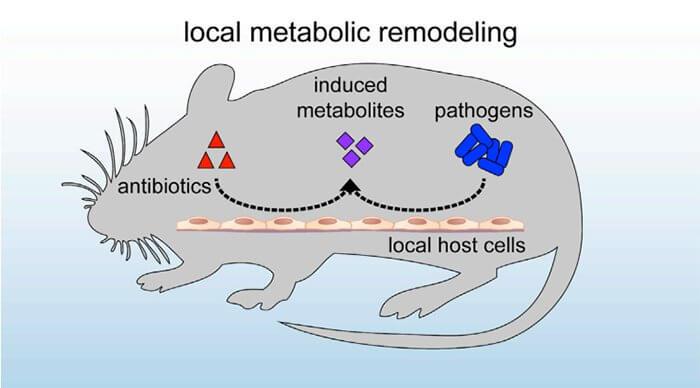 آنتی بیوتیک سیستم ایمنی بدن را در موش ها محدود می کند.
