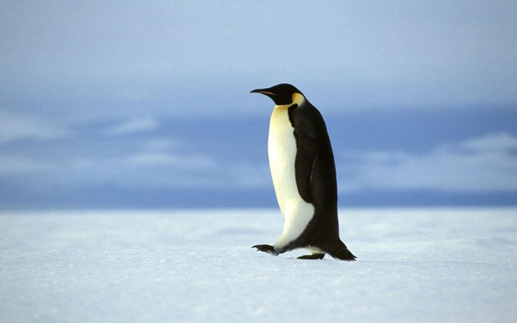 چرا پای پنگوئن ها یخ نمیزند؟