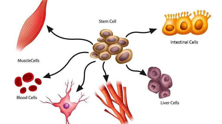 تبدیل سلول های بنیادی