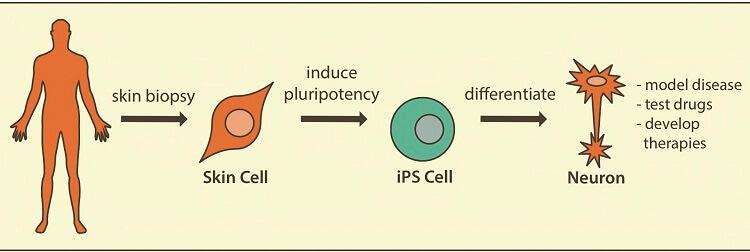 سلول بنیادی القایی