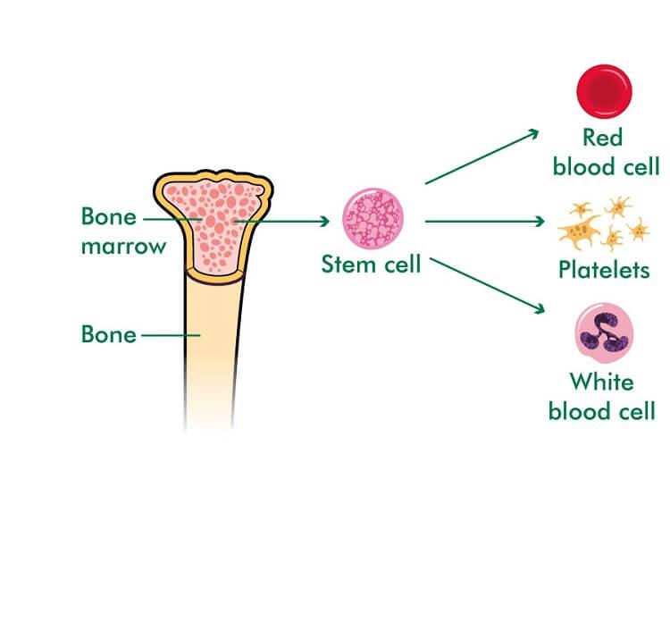 سلول بنیادی بزرگسال