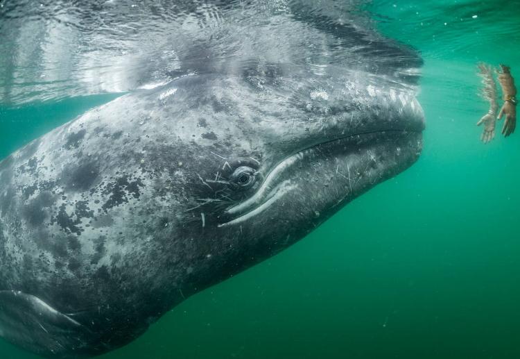 نهنگ خاکستری