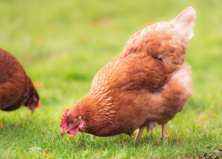 chicken digestion blog orig
