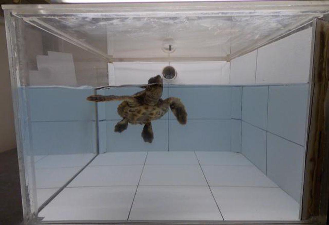 چرا لاکپشتهای دریایی پلاستیکها را میخورند؟