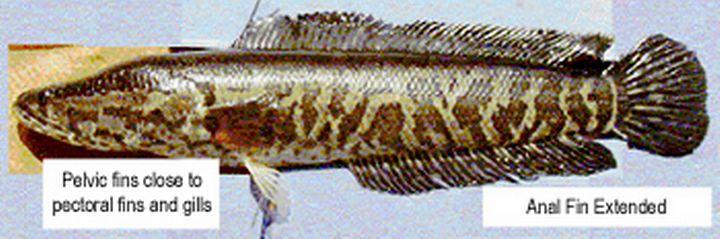 ماهی سرماری