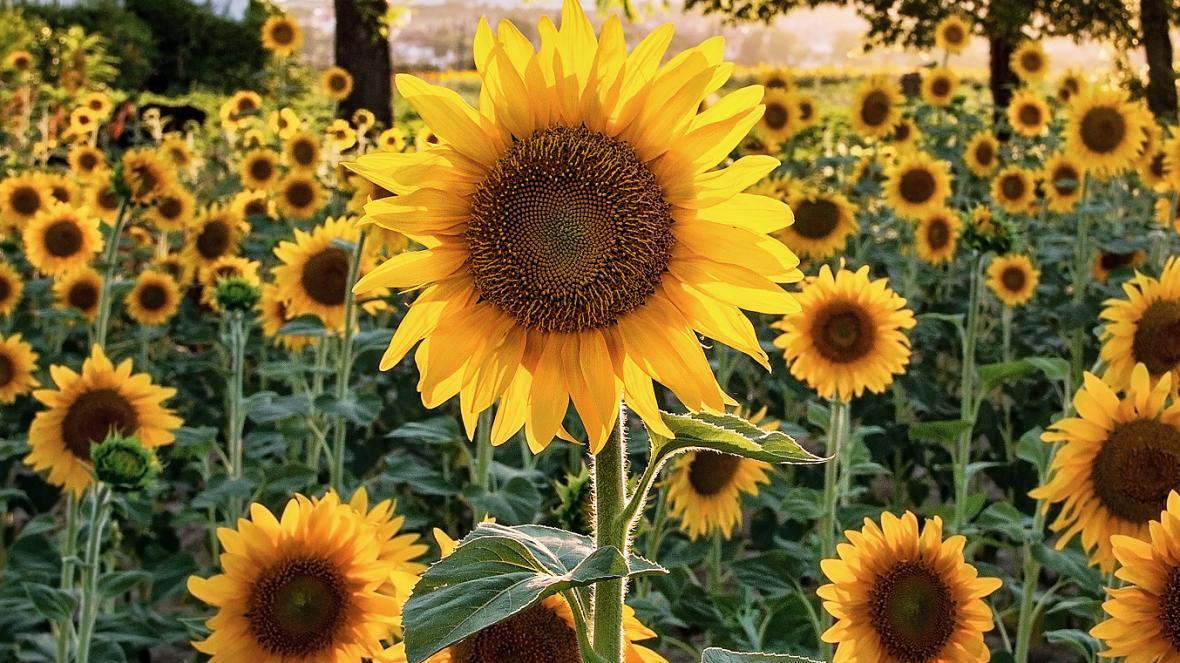 با 10 حقیقت جالب در مورد گل آفتابگردان آشنا شوید