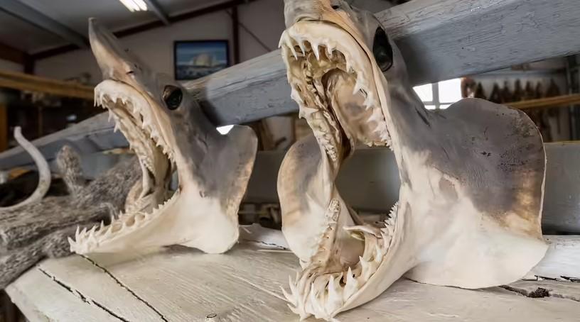 کوسه گرینلند: با پیرترین موجودات زنده آشنا شوید!