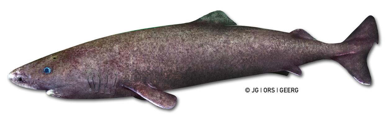greenland shark ORS 3