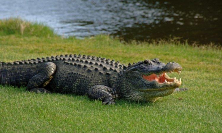 آیا واقعا میتوانیم با زیگزاگ دویدن از دست یک تمساح فرار کنیم؟